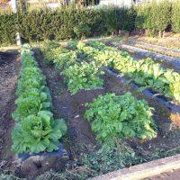 畑もすっかり冬野菜