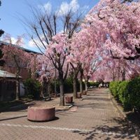 喜多方のしだれ桜見頃です!